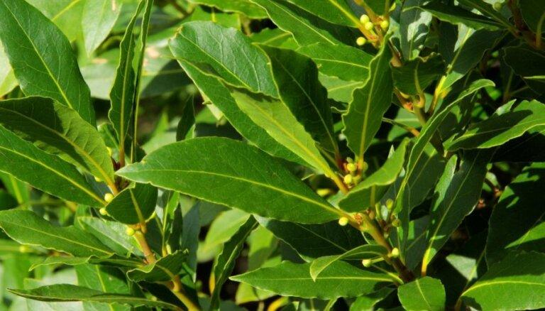 Kā audzēt lauru koku?