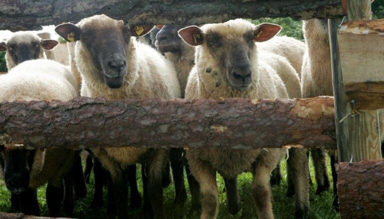 Saimniecībā Raunas pagastā kaimiņu suņi nokož 24 aitas