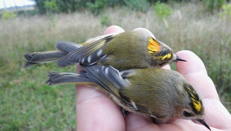 Foto: Latvijas mazākais putns zeltgalvītis aculiecinieka un ornitologa acīm