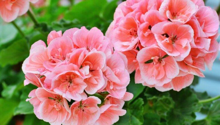 Balkonpuķu karalienes pelargonijas: padomi audzēšanā, lai tā krāšņi ziedētu