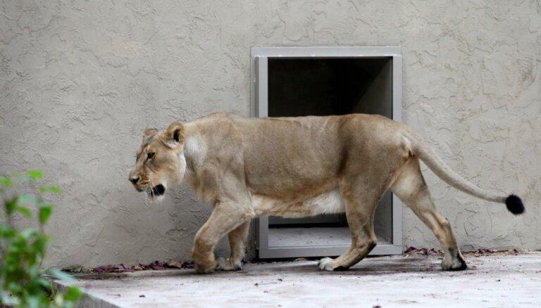 Foto: Ar jaunpienācēju Tori atklāta jaunā lauvu mītne Rīgas zoodārzā