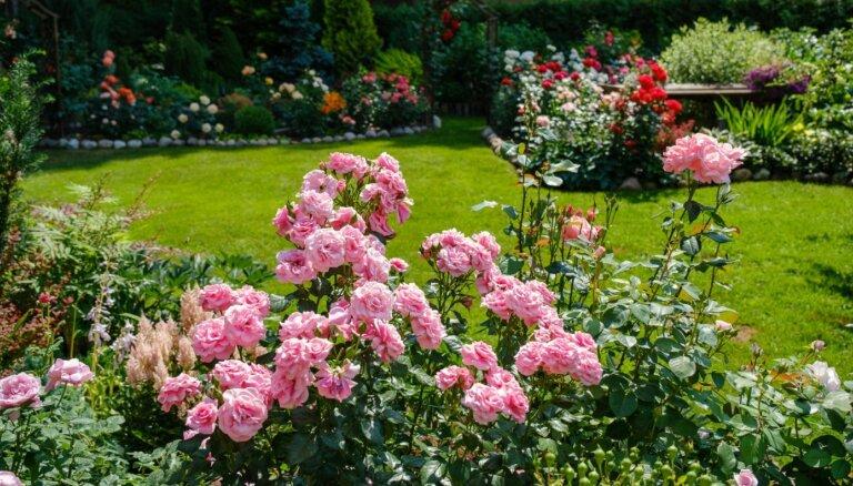 Rundāles pils dārza mazā 'filiāle'. Ciemos Larisas Dimantes rožu dārzā Ādažos