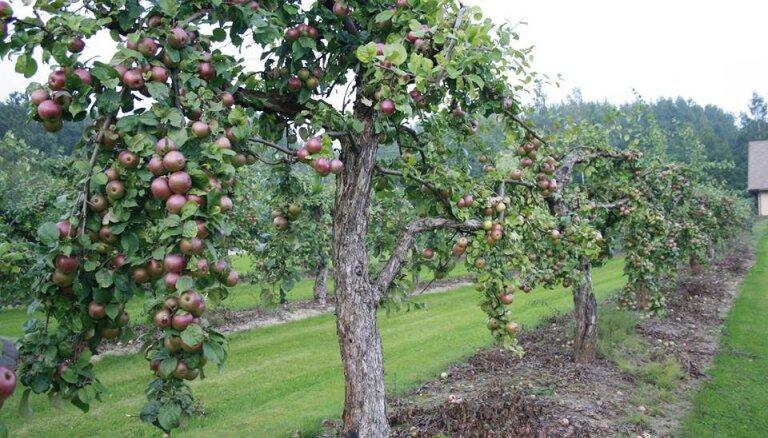 Vīnogu, ābolu un ķirbju lauki tepat Latvijā: neparasti dārzi, ko apskatīt Tukuma pusē