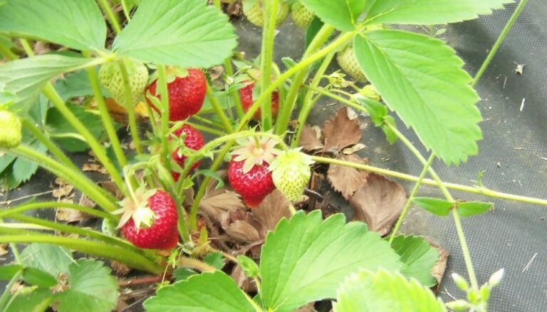 Viens vienīgs zemeņu lauks – sārtvaidzīšu plantāciju audzēšana Talsu pusē
