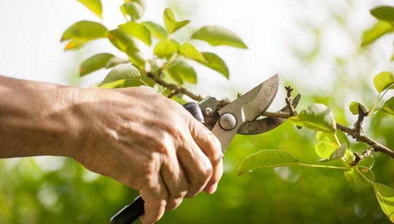 Dārza frizēšana jeb Kas jāievēro lapu koku un dzīvžogu apgriešanā vasarā?