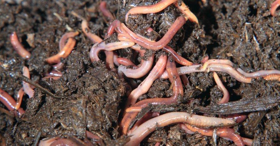 Ютуб выращивание дождевых червей 76