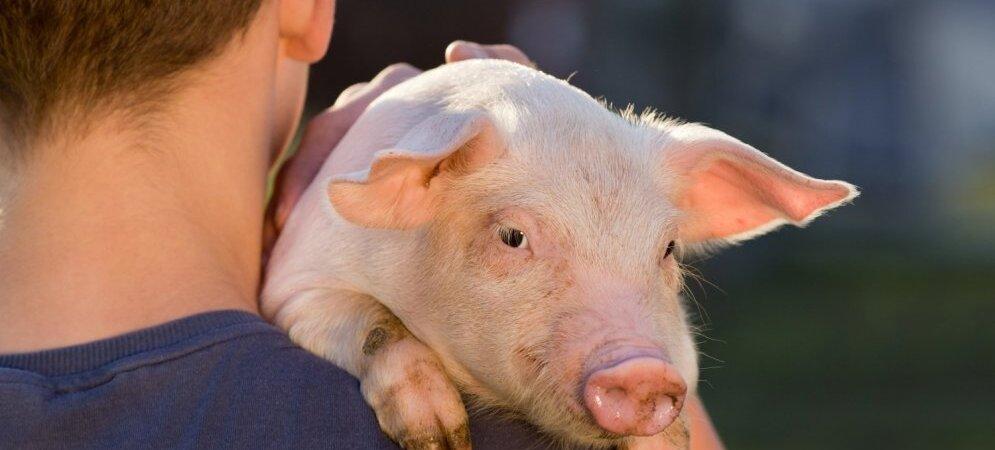 Выращивание органов в свиньях