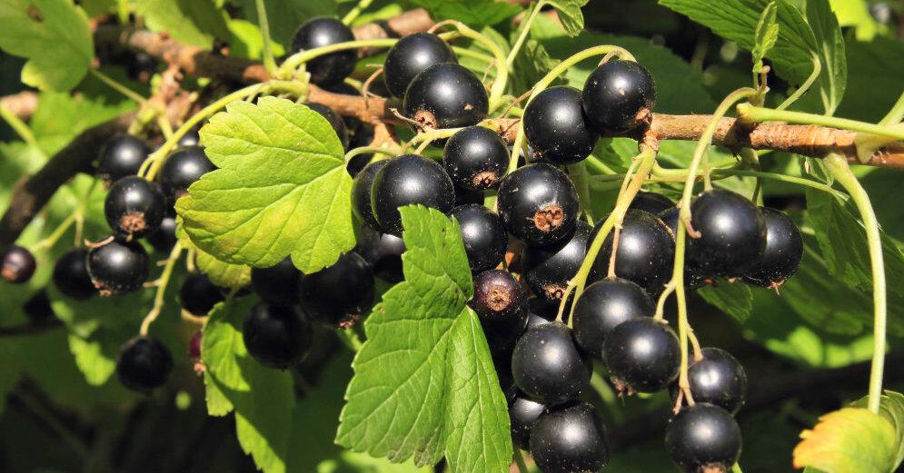 Полезные свойства и противопоказания черной смородины для организма человека
