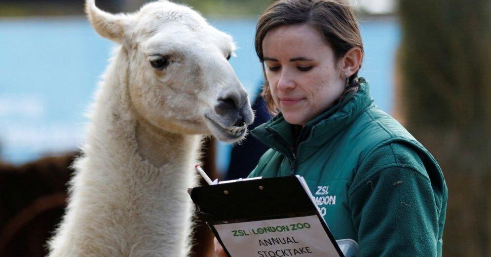 Amizanti kadri: Dzīvnieku skaitīšanas aizkulises Londonas zoodārzā