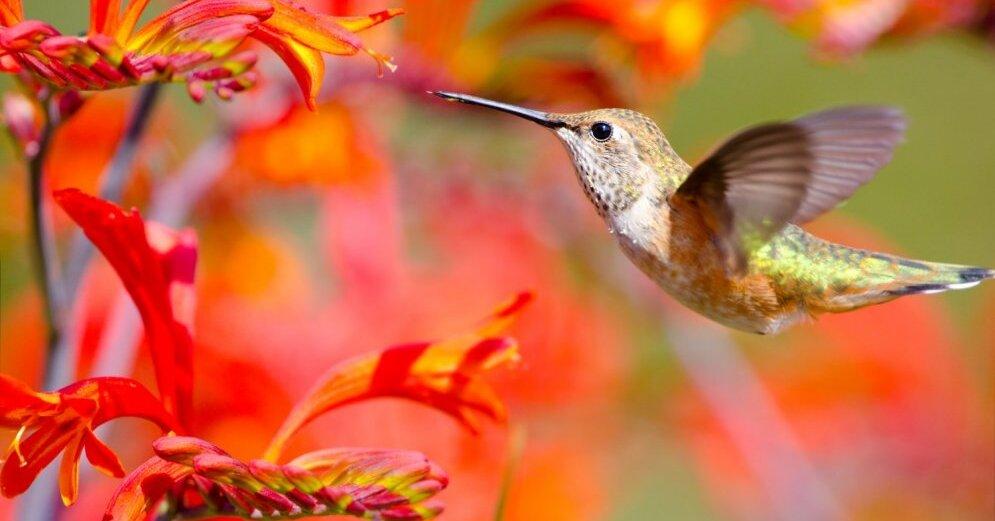 """Attēlu rezultāti vaicājumam """"kolibri dārzs"""""""