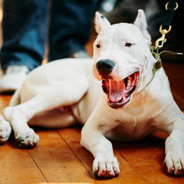 Argentīnas dogs