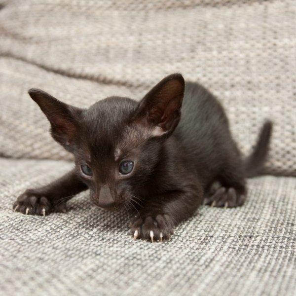 Orientālais kaķis
