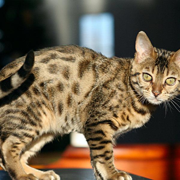 Bengāļu kaķis