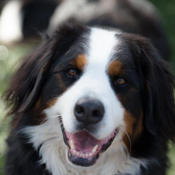 Bernes ganu suns