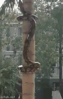 Čūska kāp kokā...