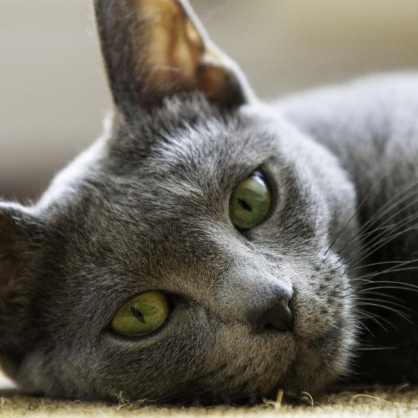 Krievu zilais kaķis