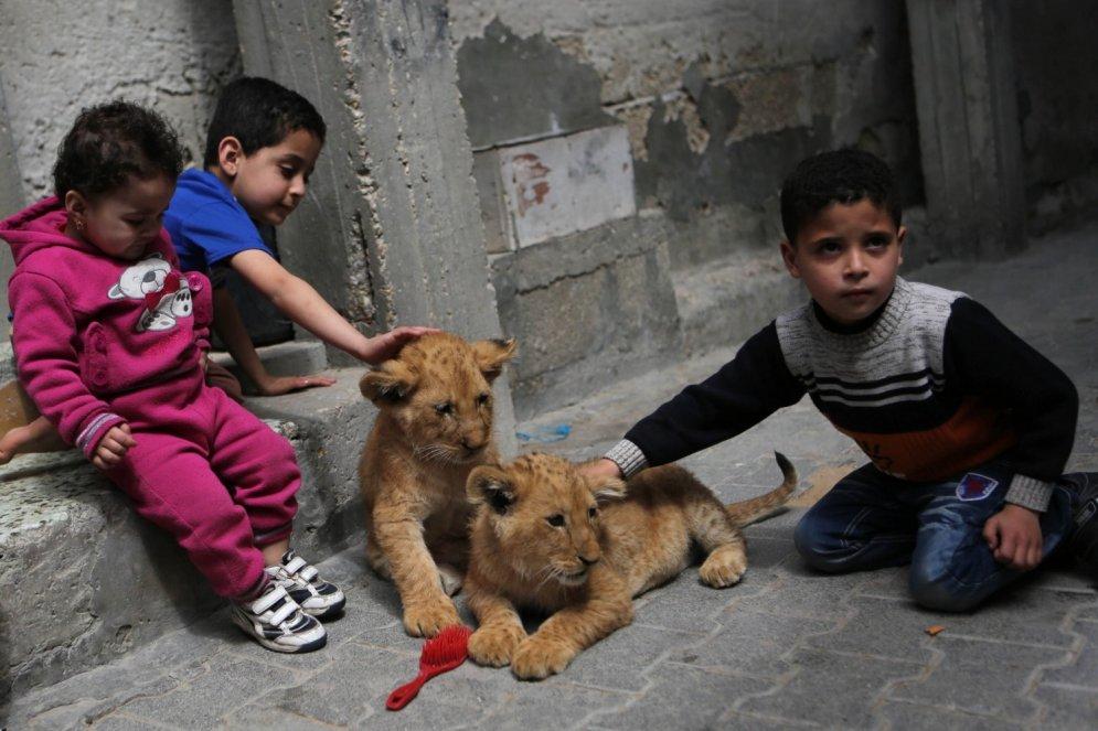 Gazas sektorā ģimenē kopā dzīvo mazi bērni un lauvas