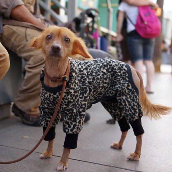 Мексиканская голая собака (Ксолоитцкуи́нтли)