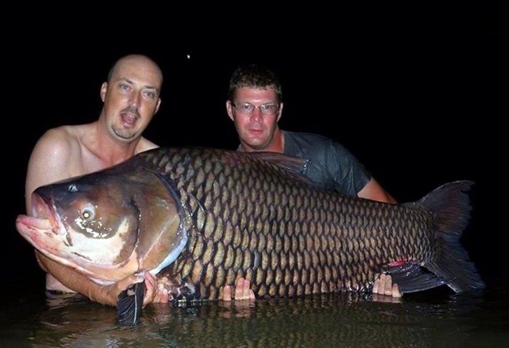 Noķerta pasaulē lielākā karpa, kas sver 78 kilogramus