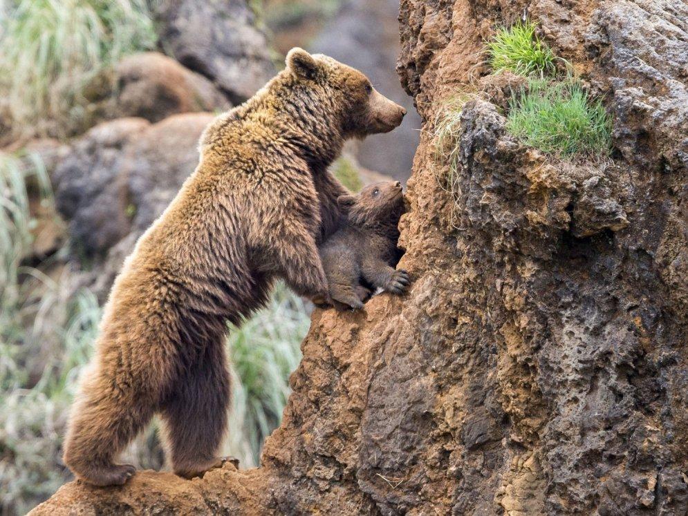 Aizkustinošs skats: lāču mamma mazulim māca kāpt klintīs