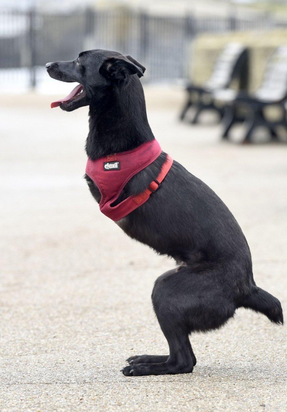 Suns ar amputētām priekškājām iemācās pārvietoties kā ķengurs