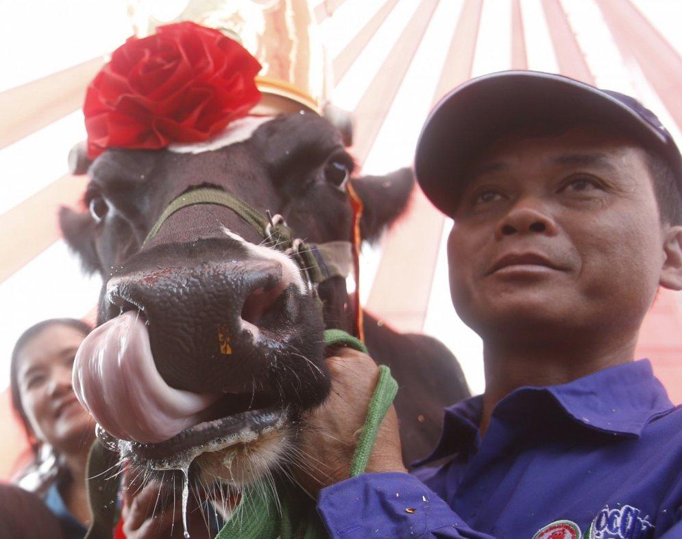 Vjetnamā izvēlēta šī gada smukākā un pienīgākā govs