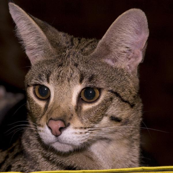 Savannas kaķis