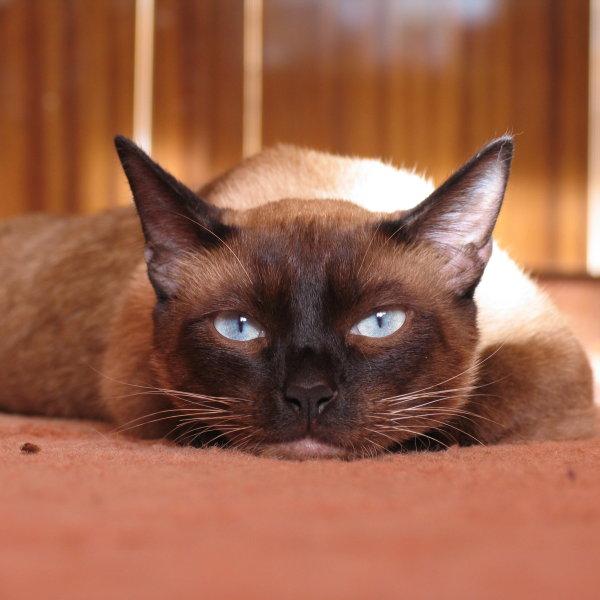 Siāmas kaķis