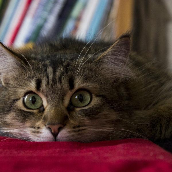 Sibīrijas meža kaķis