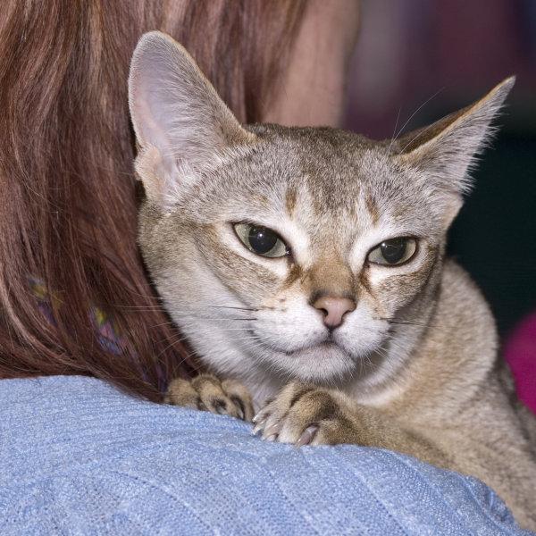 Singapūras kaķis