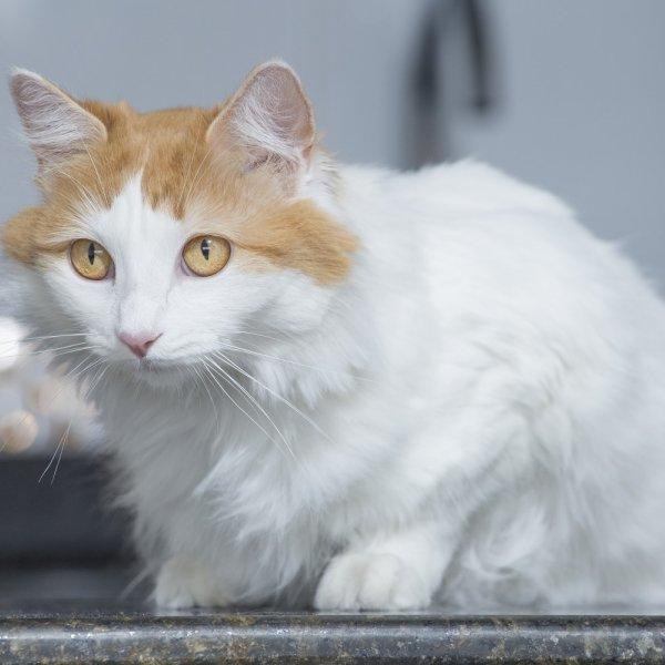 Turcijas Vana kaķis